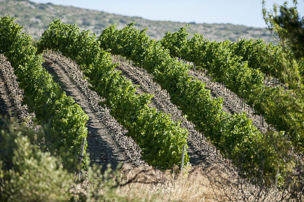 Domaine Piquemal vignes